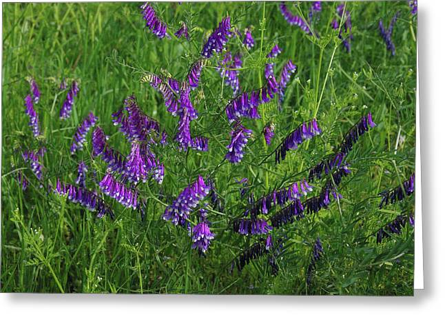 Alpine Vetch Greeting Card by Robyn Stacey