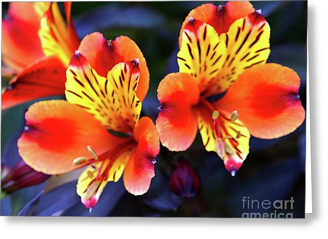 Alstroemeria Indian Summer Greeting Card by Stephen Melia