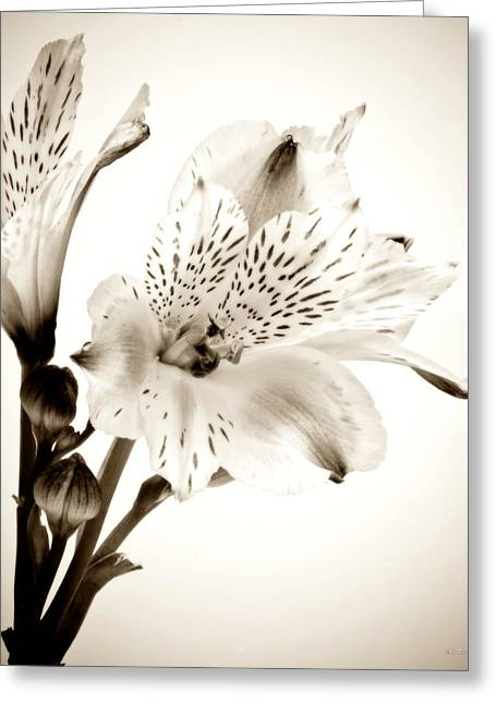 Alstromeria Lily Greeting Card