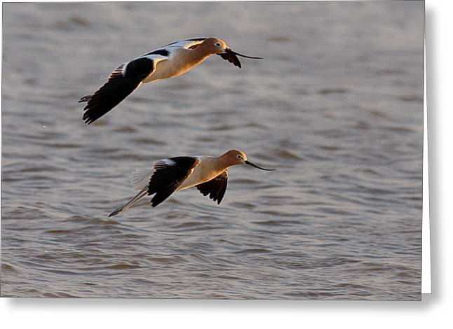 Am Avocet Greeting Card