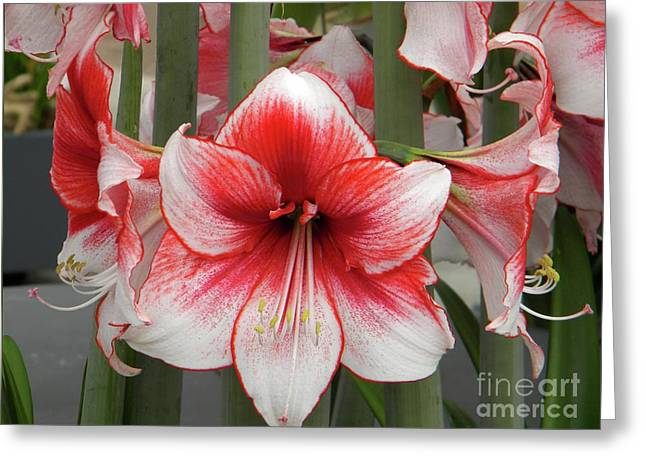 Amarilis Close-up Greeting Card