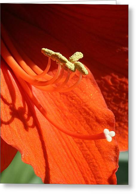 Amarillys Stems Greeting Card