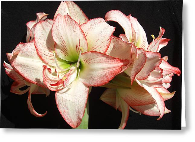 Greeting Card featuring the photograph Amaryllis Group by Frederic Kohli