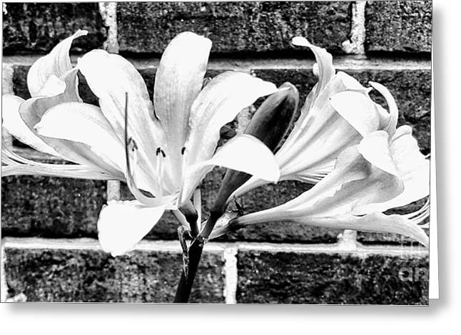 Amaryllis Inspiration Greeting Card