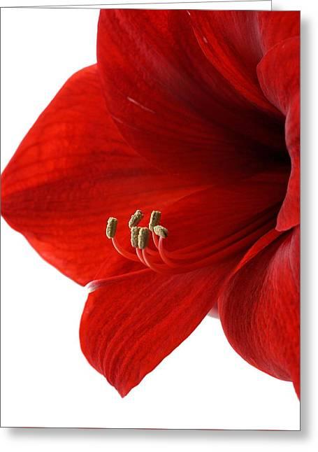 Amaryllis On White 3 Greeting Card