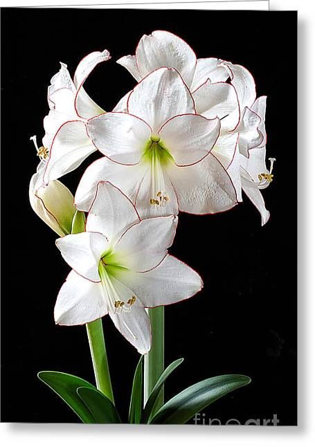 Amaryllis 'picotee' Greeting Card