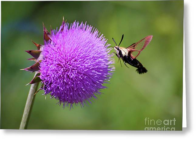 Greeting Card featuring the photograph Amazing Insects - Hummingbird Moth by Kerri Farley
