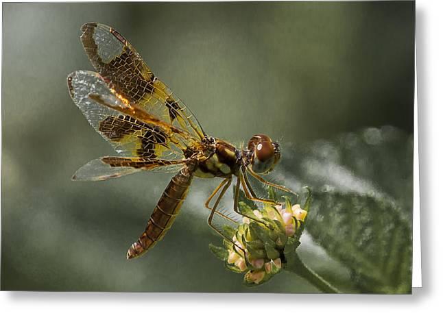 Amberwing Dragonfly Greeting Card by Edelberto Cabrera
