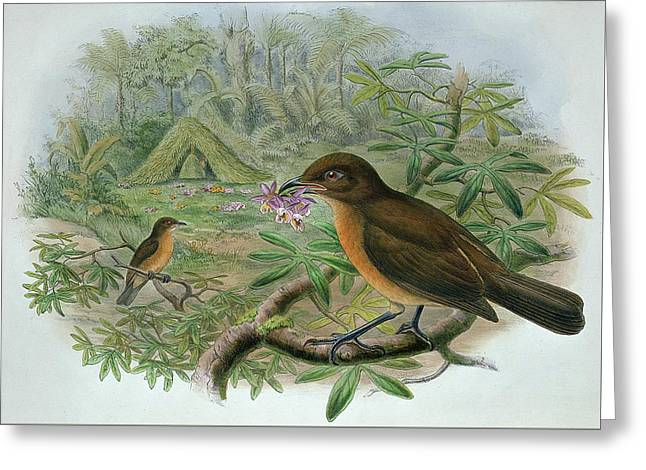 Amblyornis Inornatus Greeting Card by John Gould