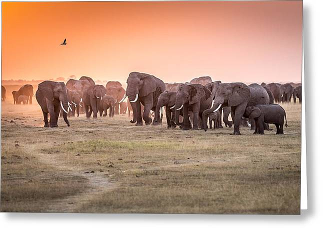 Amboseli Morning Stroll To Starbucks Greeting Card by Jeffrey C. Sink