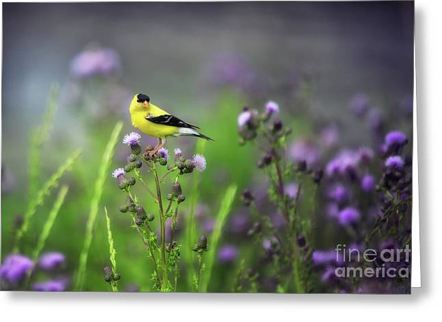 Amercian Goldfinch Greeting Card
