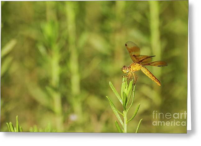 Amber Wing  On Green Grass  Greeting Card by Ruth Jolly