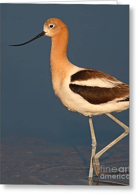 American Avocet Standing Tall Greeting Card by Max Allen