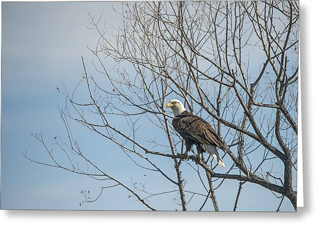American Bald Eagle In A Tree Greeting Card by Loree Johnson