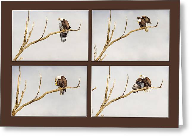 American Bald Eagle Progression Greeting Card by James BO  Insogna