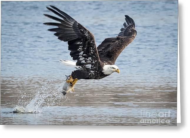 American Bald Eagle Taking Off Greeting Card