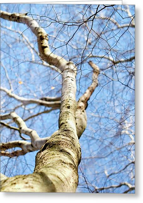 Greeting Card featuring the photograph American Beech Tree by Christina Rollo