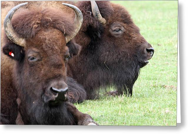 American Bison - Buffalo - 0011 Greeting Card by S and S Photo