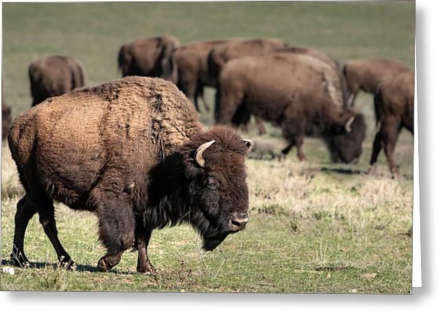 American Bison 5 Greeting Card