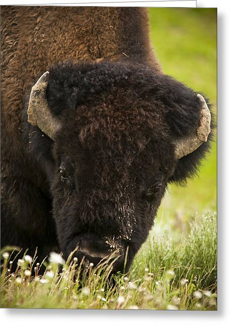 American Bison Greeting Card by Chad Davis