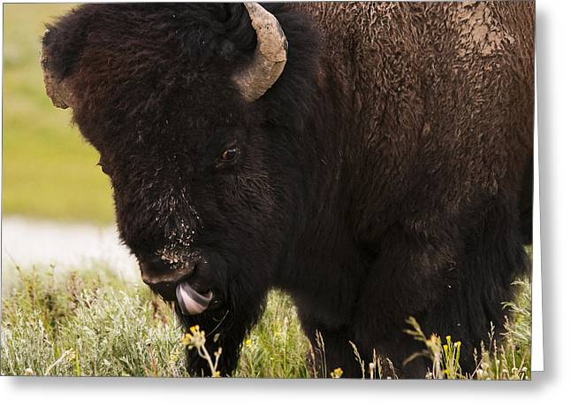 American Bison Tongue Greeting Card by Chad Davis