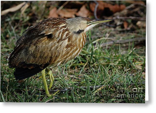 Greeting Card featuring the photograph American Bittern by Douglas Stucky