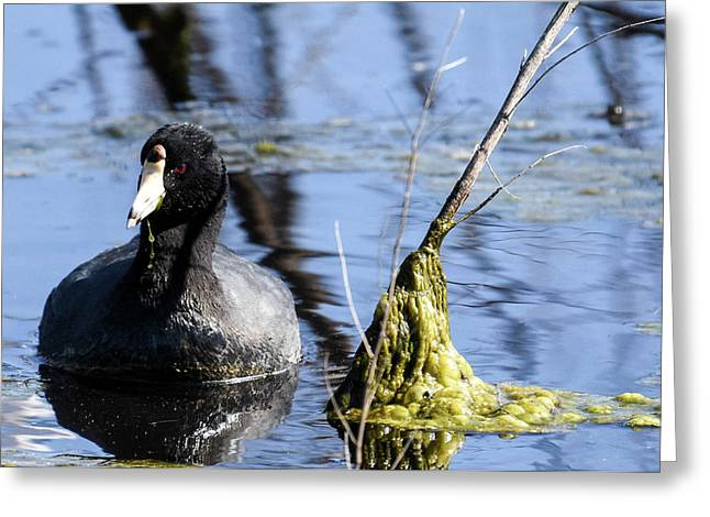 American Coot Greeting Card by Gary Wightman