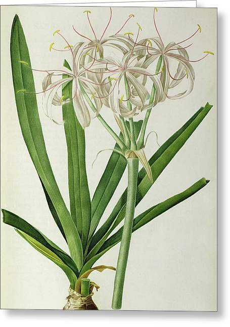 American Crinum Lily Greeting Card by Pierre Joseph Redoute