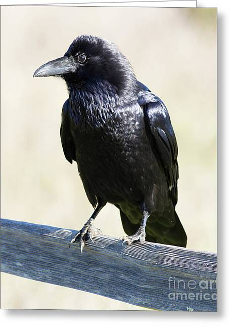 Greeting Card featuring the photograph American Crow At Point Reyes National Seashore California 5dimg9286 by Wingsdomain Art and Photography