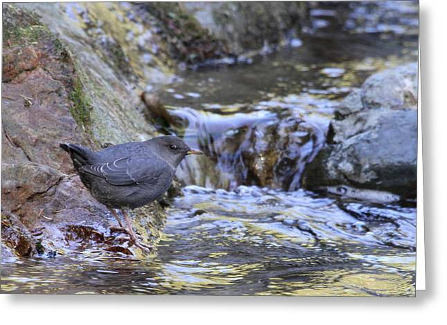 American Dipper Greeting Card by Angie Vogel