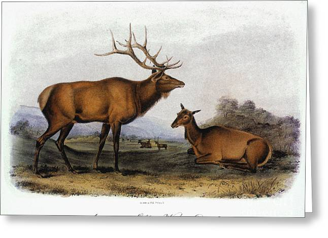 American Elk, 1846 Greeting Card by Granger
