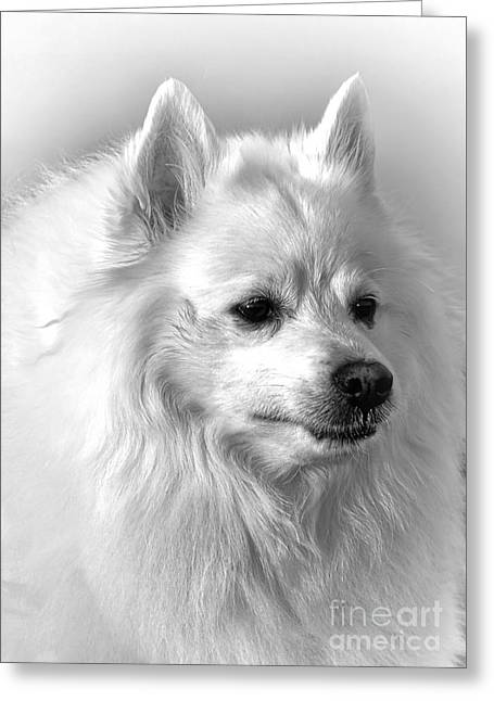 American Eskimo Dog Greeting Card by Olivier Le Queinec