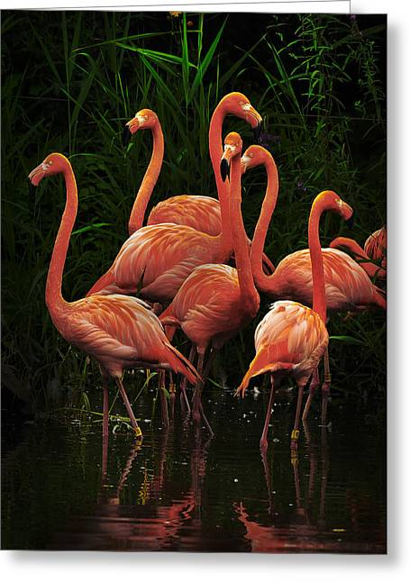 Greeting Card featuring the photograph American Flamingo by Michael Cummings