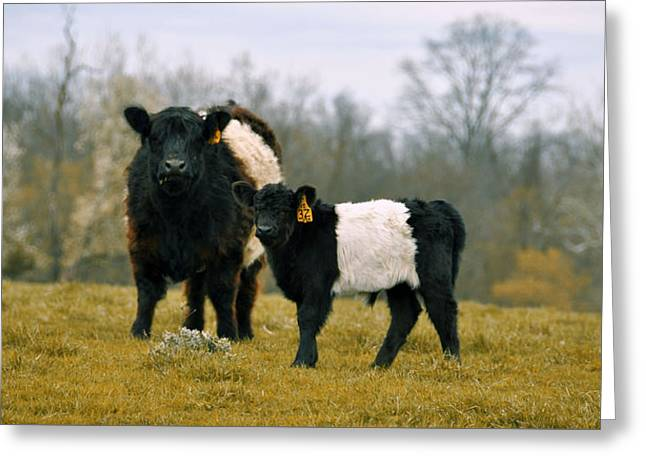 Greeting Card featuring the photograph American Galloway by JAMART Photography