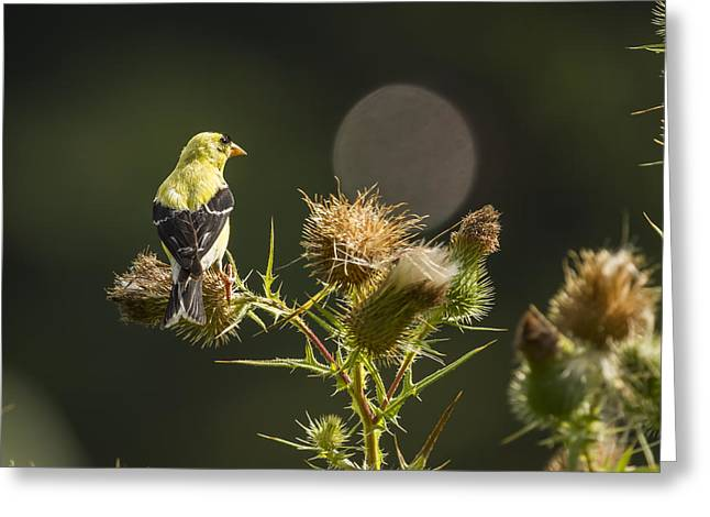American Gold Finch On A Thistle 2013-1 Greeting Card