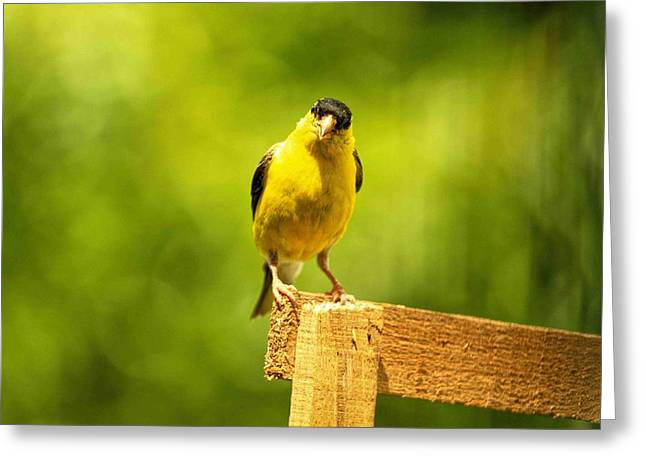 American Gold Finch On Fence Greeting Card