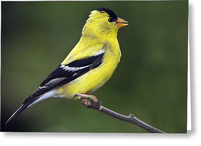 American Golden Finch Greeting Card