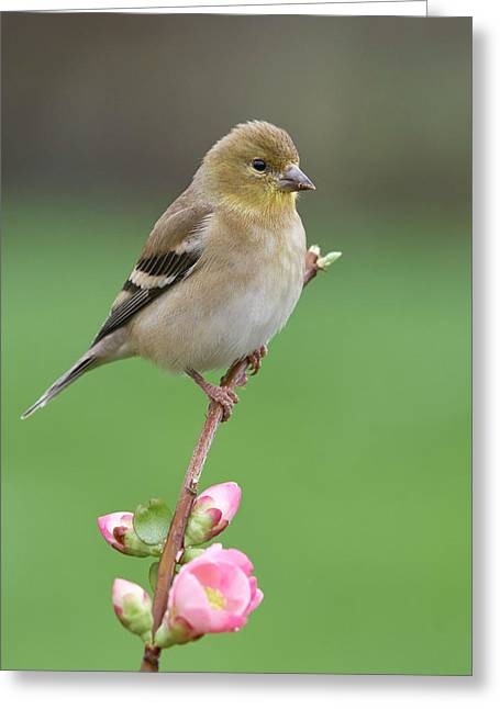 American Goldfinch Greeting Card by Doug Herr