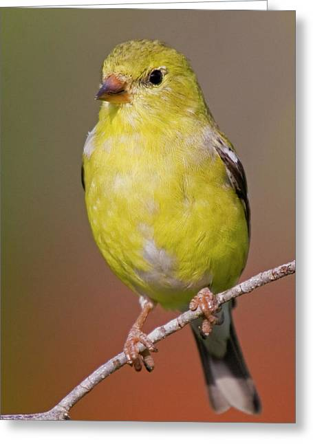 American Goldfinch  Female Greeting Card
