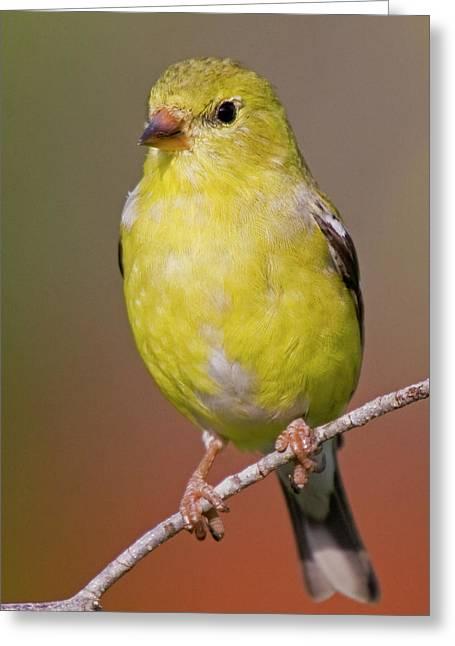 American Goldfinch  Female Greeting Card by Bob Decker