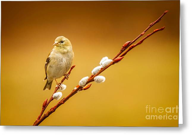 American Goldfinch Female Greeting Card by Todd Bielby