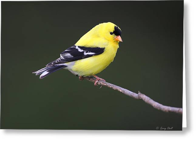 Greeting Card featuring the photograph American Goldfinch by Gerry Sibell