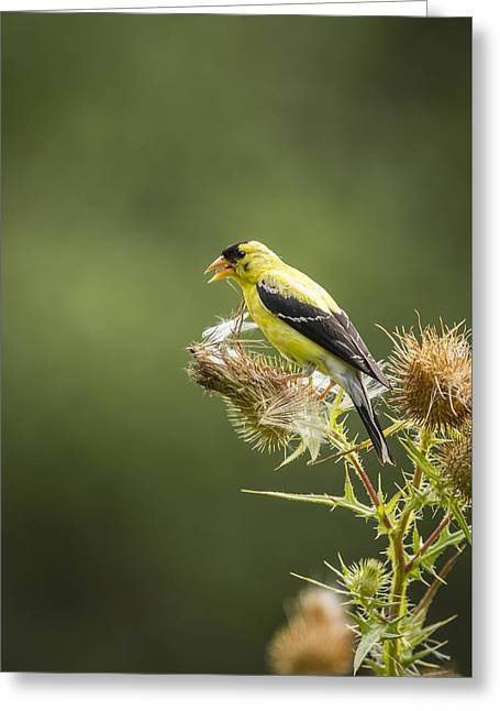 American Goldfinch On A Thistle 2013-2 Greeting Card