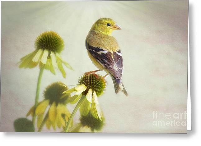 American Goldfinch On Coneflower Greeting Card