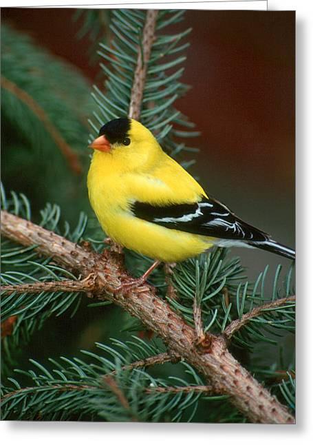 American Goldfinch Greeting Card by Raju Alagawadi