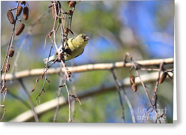 American Goldfinch Greeting Card by Wingsdomain Art and Photography