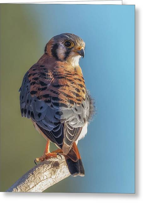 Greeting Card featuring the photograph American Kestrel 3 by Angie Vogel
