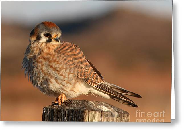 American Kestrel Giving Hunting Stare Greeting Card by Max Allen