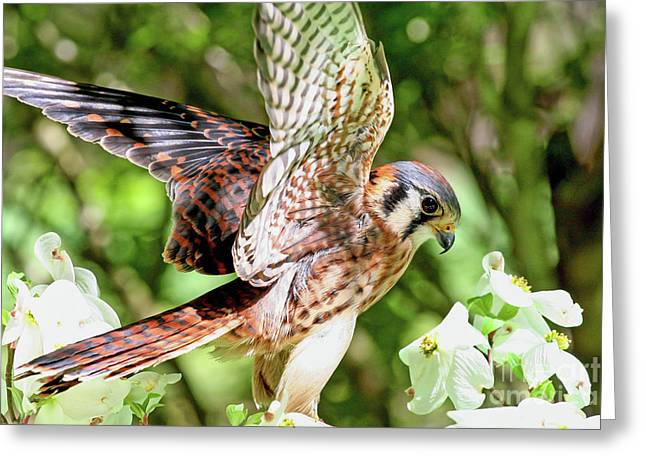 American Kestrel Hawk Greeting Card