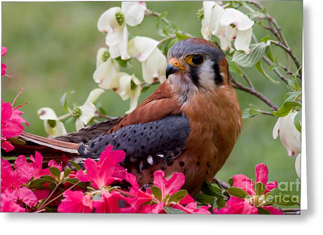 American Kestrel In The Springtime Greeting Card